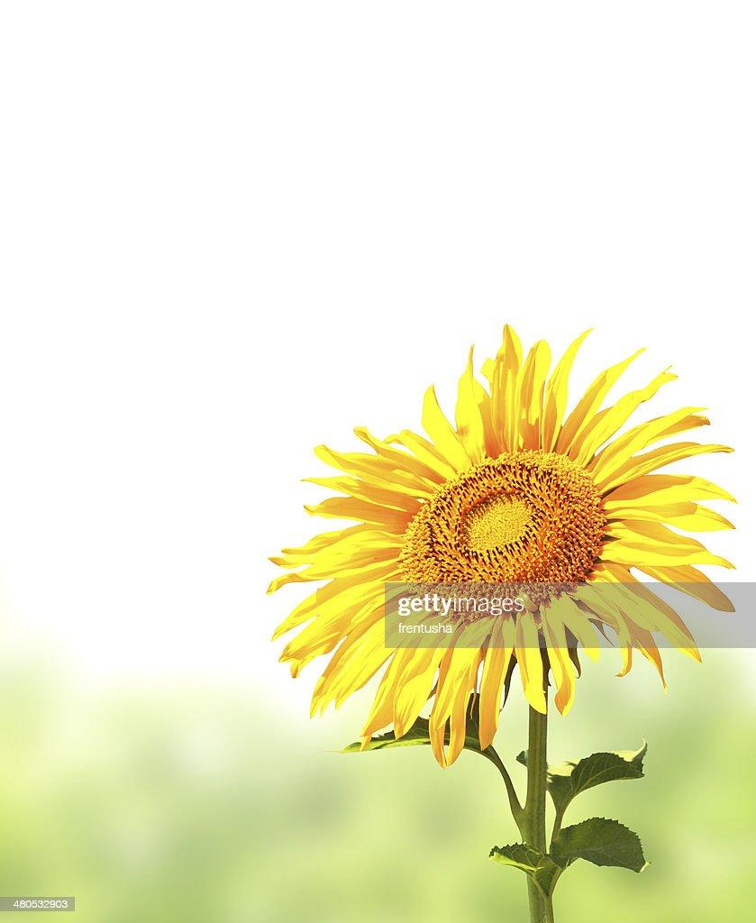 Sonnenblume und grünem Gras : Stock-Foto