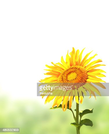 Sunflower and green grass : Stock Photo