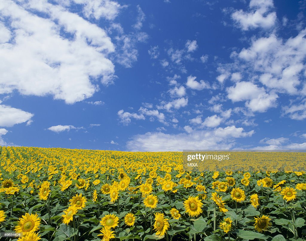 Sunflower and Sky : Stock Photo