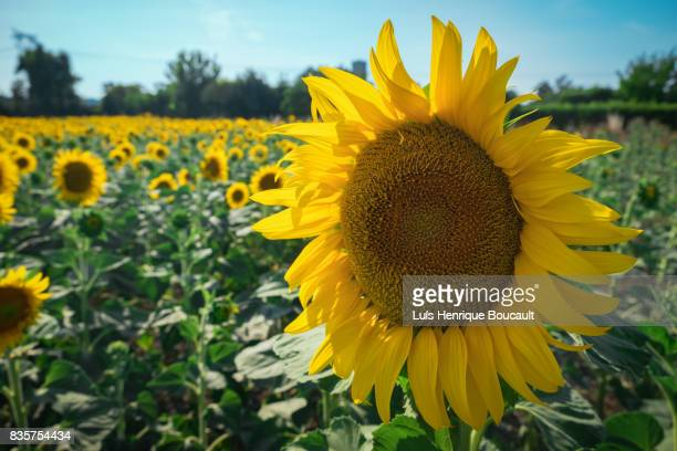 Sunflower and the field