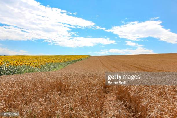 Sunflower and wheat field in the summer