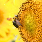 A carpenter bee on a sunflower.