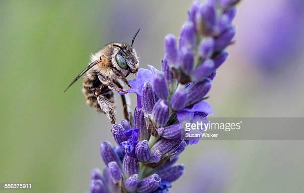 Sunflower Bee (Svastra obliqua expurgata)