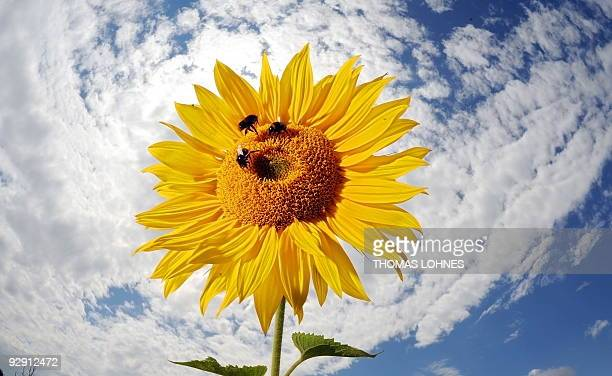 A sunflower blossoms in a field near Pfungstadt central Germany on July 9 while sunshine and clouds alternate with temperatures between 15 and 20...
