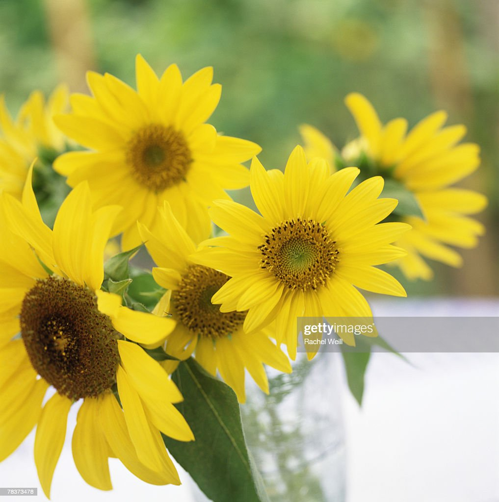Sunflower bouquet : Stock Photo