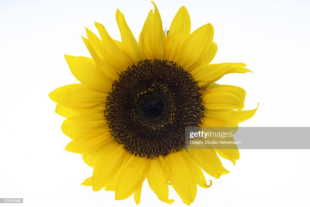 Sunflower, close-up