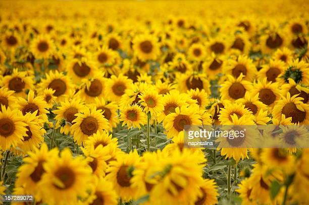 Sunflower Feld - 2