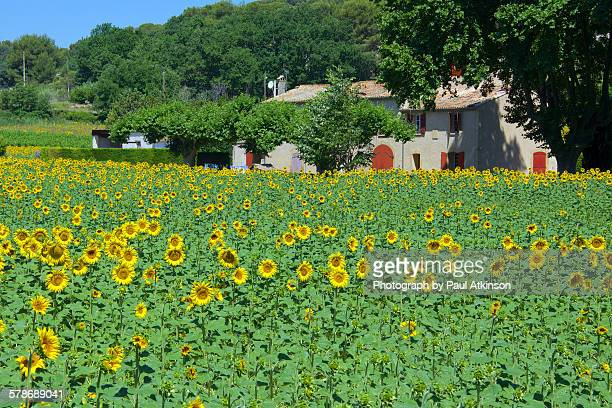 Sunflower field and cottage, France