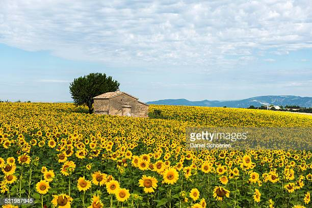 Sunflower field and small stone house, Plateau de Valensole in Valensole, Provence, Provence-Alpes-Cote d'Azur, France