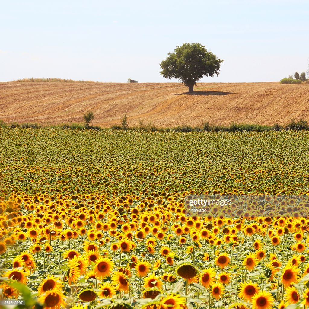 Sunflower field and tree, Niort, Poitou-Charentes, France