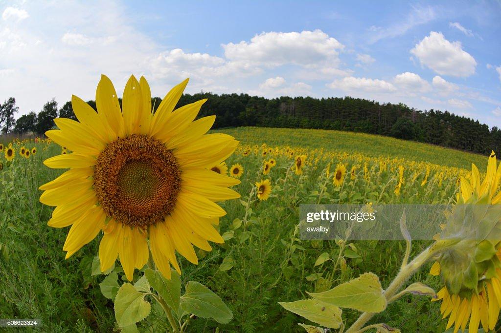 Sunflower Field Fisheye : Stock Photo