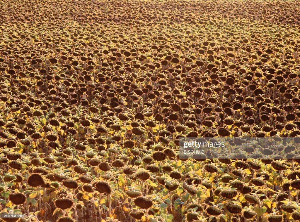 Sunflower Field in La Mancha, Spain