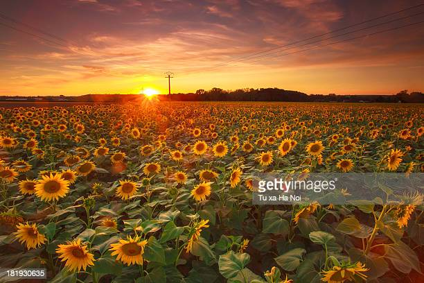 Sunflower field in sunset