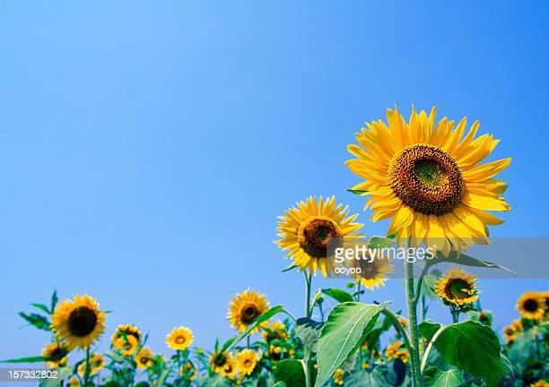 Sonnenblume-Feld