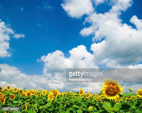 sunflower field : Stock Photo