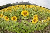 Sunflower field in fisheye view.