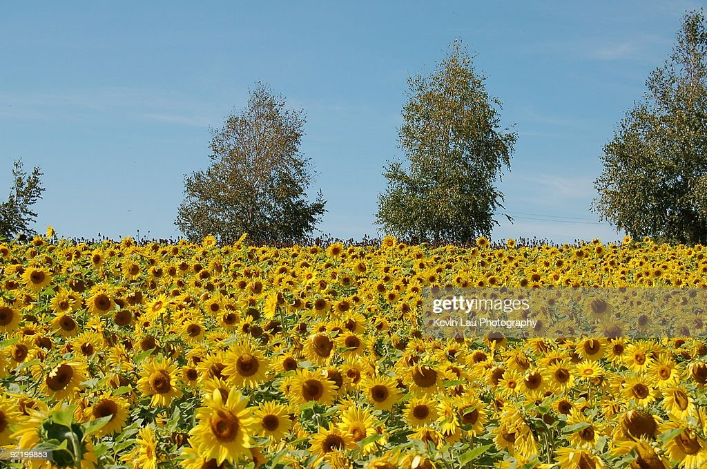 Sunflower Field : Stock Photo