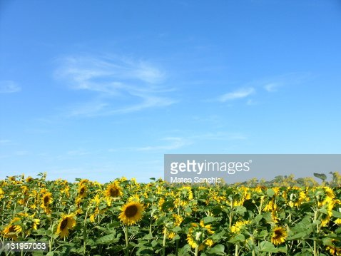 Sunflower field under pale blue and small clouds