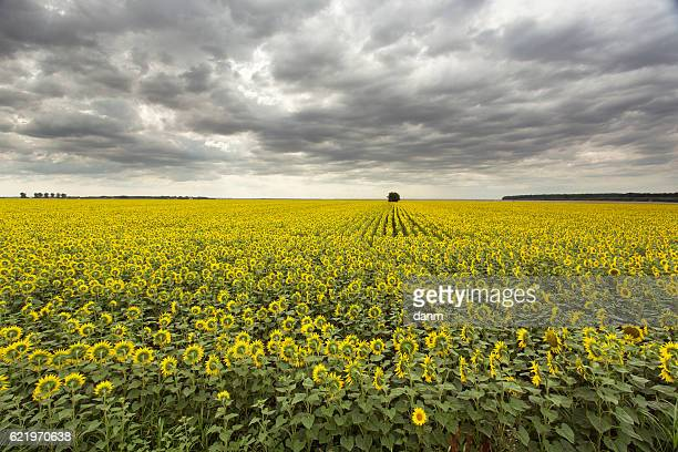 Sunflower field with a tree under cloudy sky
