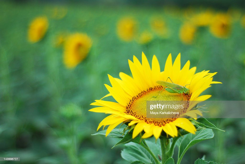 Sunflower field with grasshopper : Stock Photo