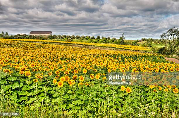Sunflower field with summer clouds - III