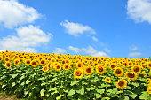 Sunflower Fields in Hokkaido, Japan