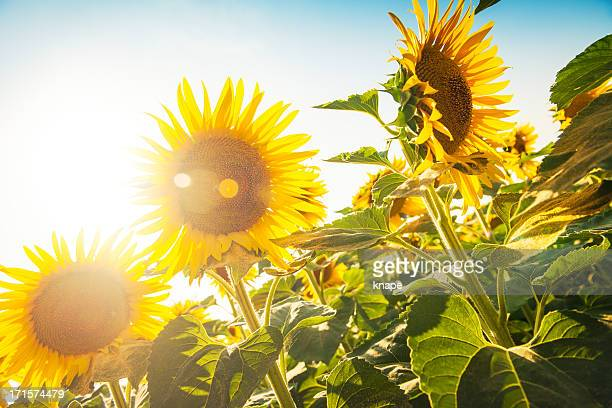 Sunflower fields in Lucca, Italy