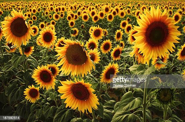 Sunflower fields - Konya, Turkey