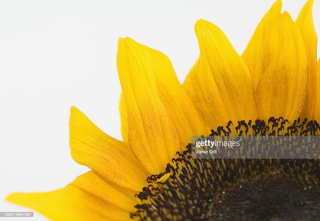 Sunflower, front view, detail. : Stock Photo