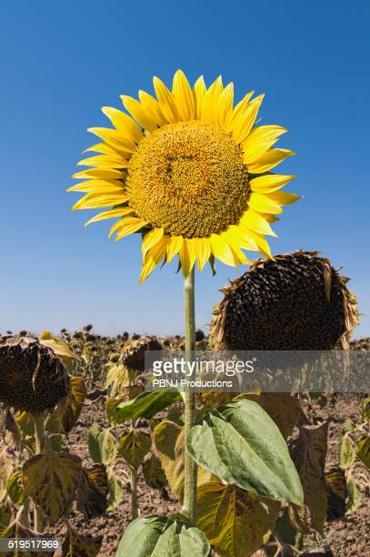 Sunflower growing in field of dead flowers