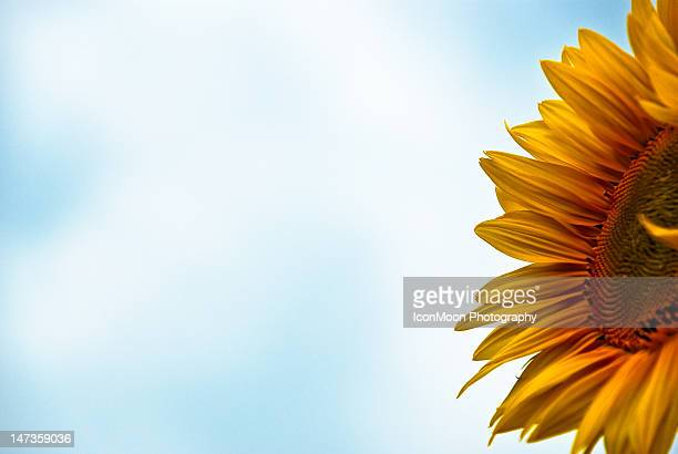 Sunflower in Furano Fields