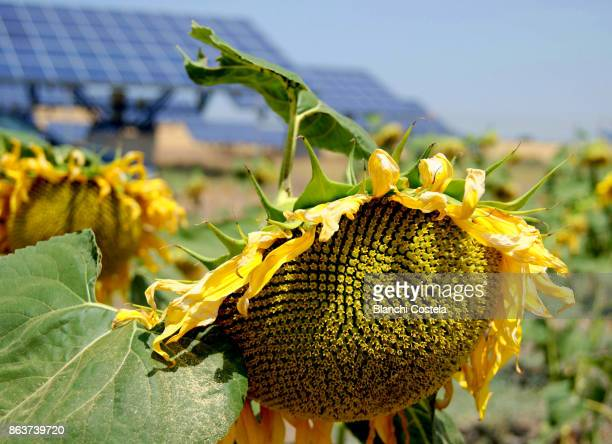 Sunflower in the foreground and solar panels in the background