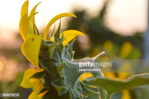 sunflower in the garden : Stockfoto