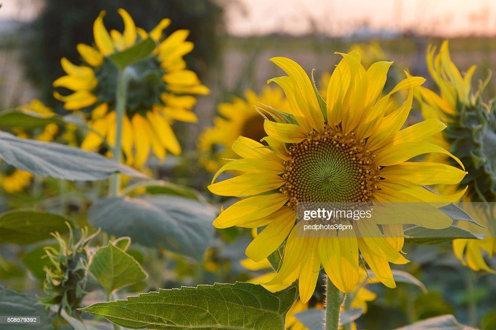 sunflower in the garden : Bildbanksbilder
