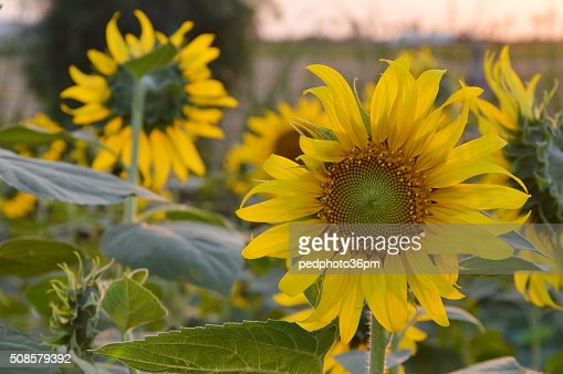 sunflower in the garden : Stock Photo