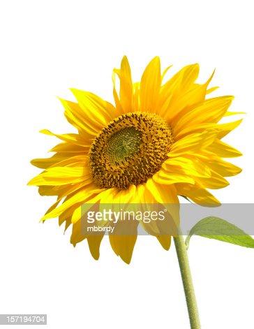 Sunflower, isolated on white background