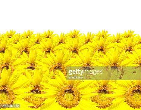 sunflower isolated on white background : Stock Photo