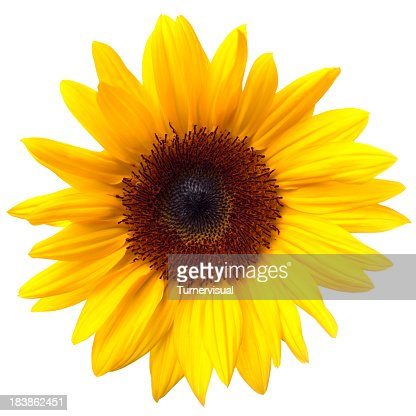 Sunflower Isolated on White + Clipping Path