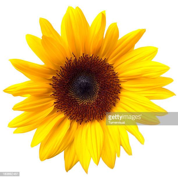 Girasoli isolati su bianco Clipping Path
