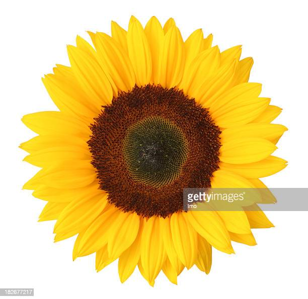 Sonnenblume Isoliert