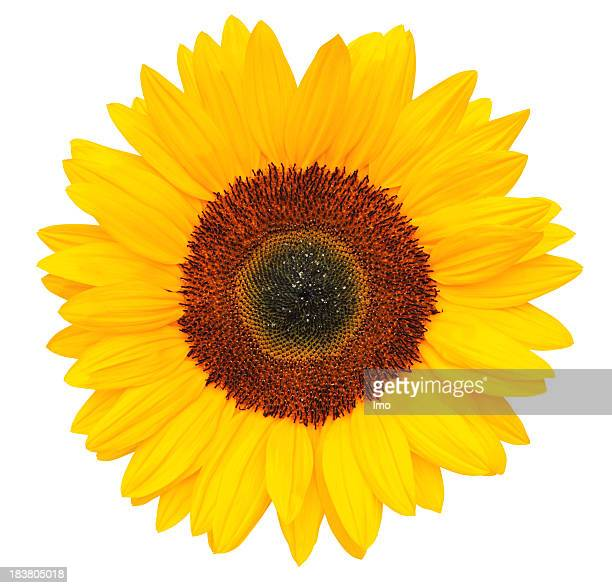 sunflower stock photos and pictures  getty images, Beautiful flower