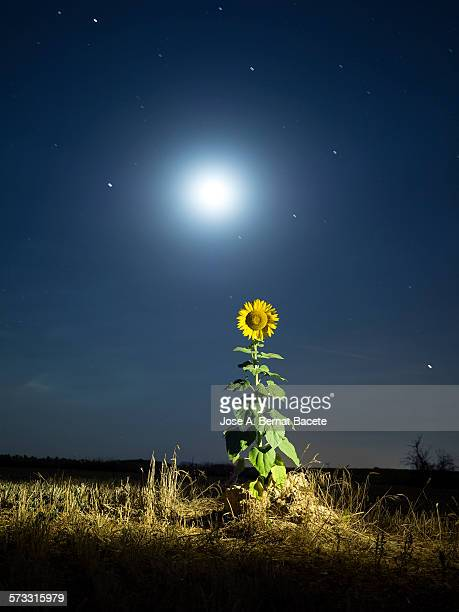 Sunflower lit by the light of the full moon