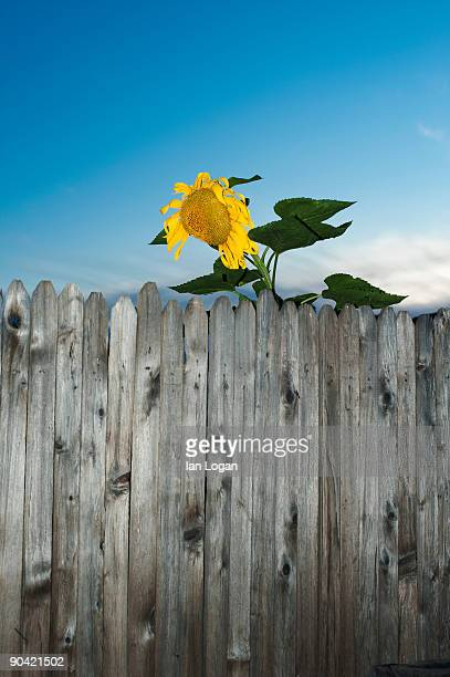 Sunflower looking over fence.
