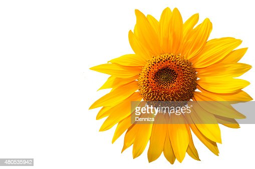 Sunflower on a white background : Stock Photo