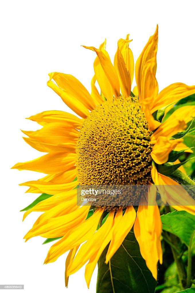 Sunflower on a white background, yellow sunflower. Подсолнечника на белом фоне : Stock Photo