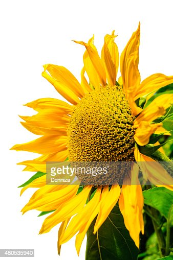 Sunflower on a white background, yellow sunflower. Подсолнечника на белом фоне : Stock Photo