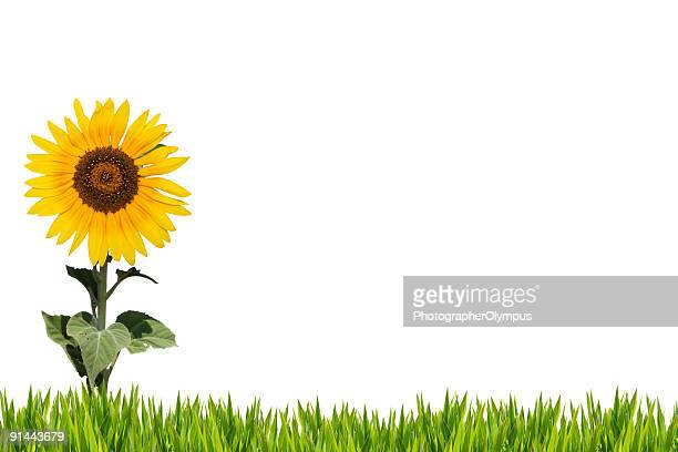 Sunflower on grass