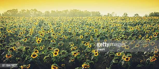 Sunflower Panoramic