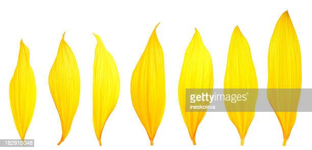 Sunflower Petals