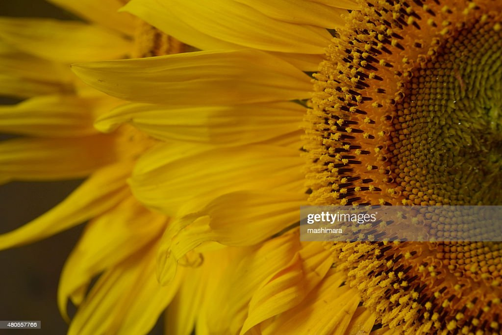 Sunflower petals : Stock Photo